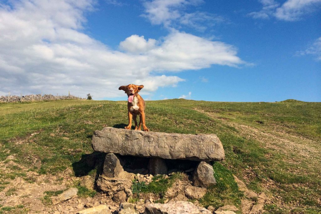 Dog stands on grassy hill with tongue out and ears flying in the wind
