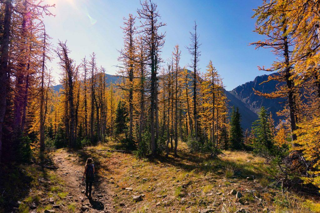 Golden larches Manning Provincial Park