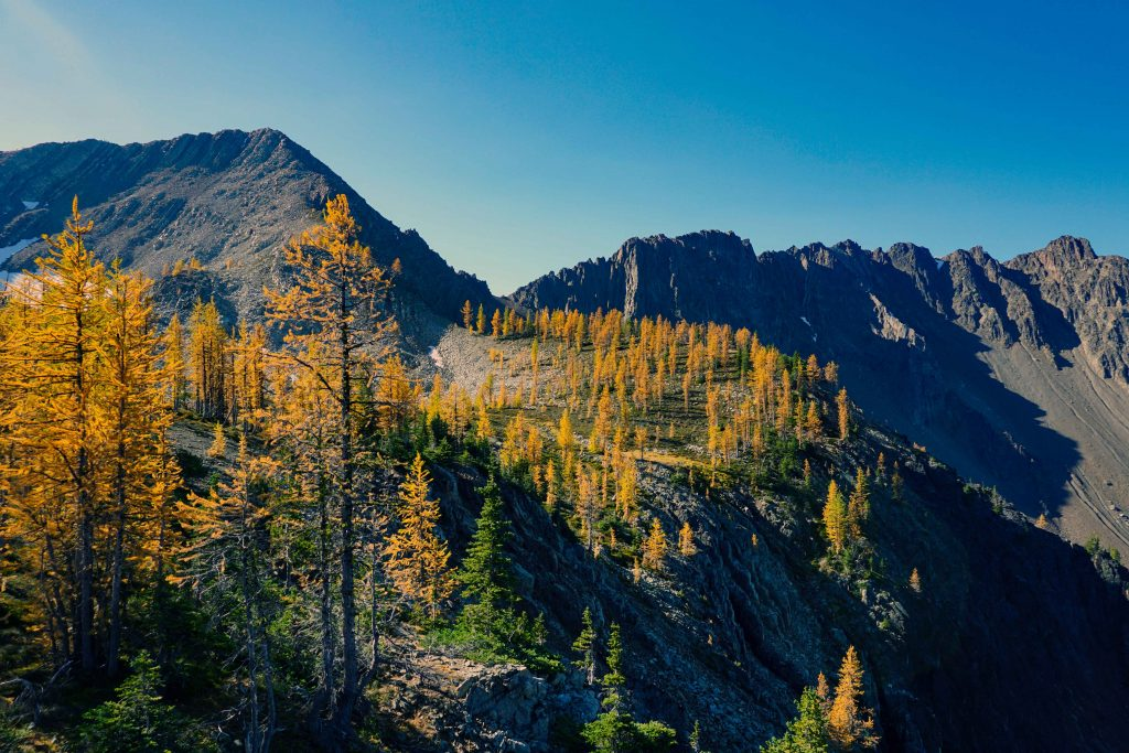 Golden larches in Manning Provincial Park